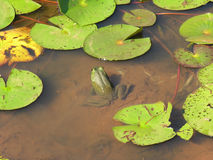 One Frog. One green pond frog cools himself sitting beside lily pads stock images