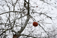 One frozen Apple on a tree branch without leaves Stock Photos