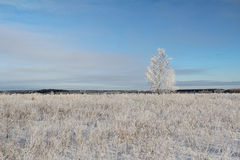 One frozen birch tree on winter field and blue sky. Stock Images