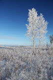 One frozen birch tree on winter field and blue sky. Royalty Free Stock Image
