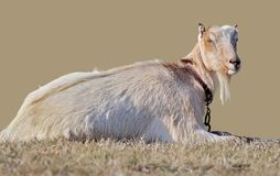 One funny beige goat with no horns is dozing on the grass with eyes closed. On bright beige background royalty free stock photo