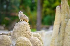 One funny meerkat standing tall waiting for visitors in a zoo. Cute animals in a zoo Stock Images