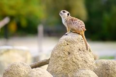 One funny meerkat standing tall waiting for visitors in a zoo. Cute animals in a zoo Stock Image