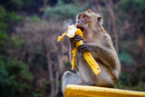 One funny monkey eats banana. One monkey sits on the stone and eats banana stock photography