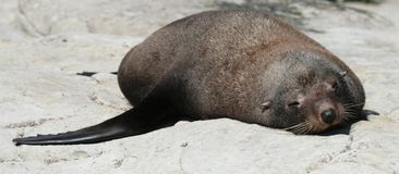 One fur seal lying on the rock Stock Photo