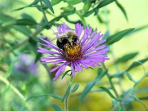 One Fuzzy Bumblebee on Purple Daisy like Flower on a Sunny Day Stock Image