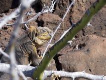 Galapagos Land Iguana, Conolophus subcristatus, is hidden in lava stones, Baltra Island, Galapagos. One Galapagos Land Iguana, Conolophus subcristatus, is hidden stock image