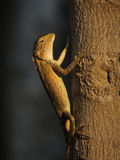 One Garden Lizard climbing tree during sunset Stock Images