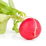 One garden radish Stock Images