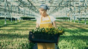 One gardener carries a basket with tulips, working in a greenhouse. stock video