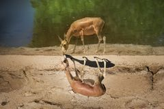 One gazelle near the waters edge. Royalty Free Stock Images
