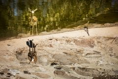 One Gazelle near the waters edge. Stock Photos