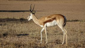 One gazelle from the side. royalty free stock images