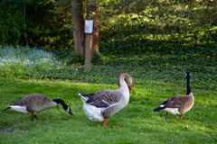 One of these geese is not like the other Royalty Free Stock Photo