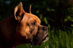 One german boxer. Dog  on green grass at autumn background Royalty Free Stock Photo