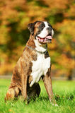 One german tiger boxer dog Stock Photos