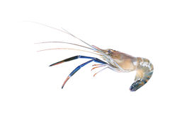 One giant freshwater prawn isolated on white Royalty Free Stock Images