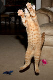 One giant leap. Orange tabby kitten caught in mid leap with paws and claws extended Stock Photo