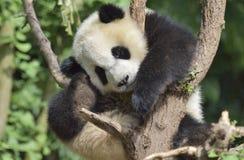 One giant pandas naps in the tree! Royalty Free Stock Photos