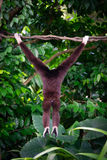 One gibbon from back in the forest hanging from a tree in the ju Stock Photo