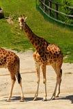 One giraffe Stock Image
