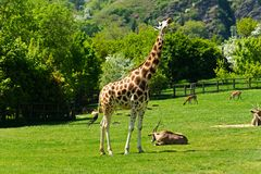 One giraffe Royalty Free Stock Images