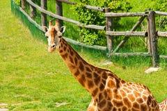 One giraffe Royalty Free Stock Photos