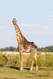 One Giraffe photographed in the bush in Zambia. One giraffe, with a small group of Puku in the background photographed in the outback in Zambia Stock Images