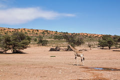 One giraffe walking in the desert dry landscape Royalty Free Stock Photo