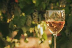 One glass of the white wine in autumn vineyard. Royalty Free Stock Photos