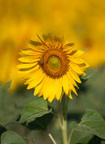 One glorious sunflower in large field of yellow behind Stock Photos