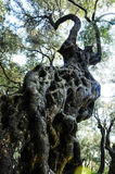 One gnarled olive tree Royalty Free Stock Photos