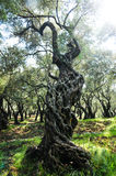 One gnarled olive tree. On a background of trees Royalty Free Stock Photo