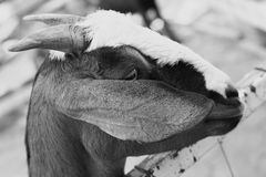 One Goat on a farm. Stock Images