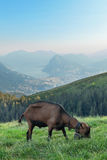 One goat grazing Royalty Free Stock Images