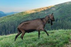 One goat grazing Stock Photo