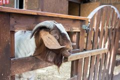 One goat looks at the camera. Goat on the farm. Beautiful goat royalty free stock photo