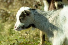 One goat pastures. White goat young one pastures outdoor sunny day on blurred background Stock Photography