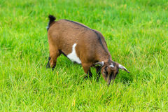 One goatling eating of green grass at farm Royalty Free Stock Image
