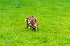 One goatling eating of green grass at farm Stock Photo