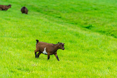 One goatling eating of green grass at farm Royalty Free Stock Photo