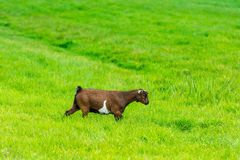One goatling eating of green grass at farm Stock Images