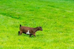 One goatling eating of green grass at farm Stock Image