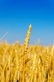 One golden ear of wheat Stock Photo