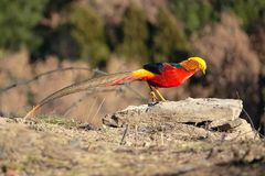 Golden pheasant. One Golden pheasant stands on rock. Scientific name: Chrysolophus pictus Royalty Free Stock Photo