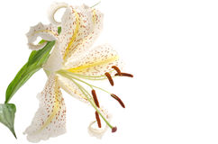 One golden rayed lily. Close up of one golden rayed lily on a white background Royalty Free Stock Photo