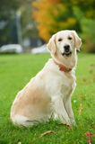 One golden retriever Royalty Free Stock Image