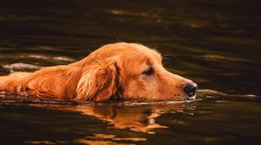 Golden Retriever dog swimming on the water of a lake. One Golden Retriever dog swimming on the water of a lake with just the head out of the water for breathing Stock Image