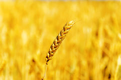 One golden wheat over field Royalty Free Stock Images