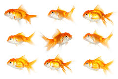 One goldfish swimming in opposite way Royalty Free Stock Photography